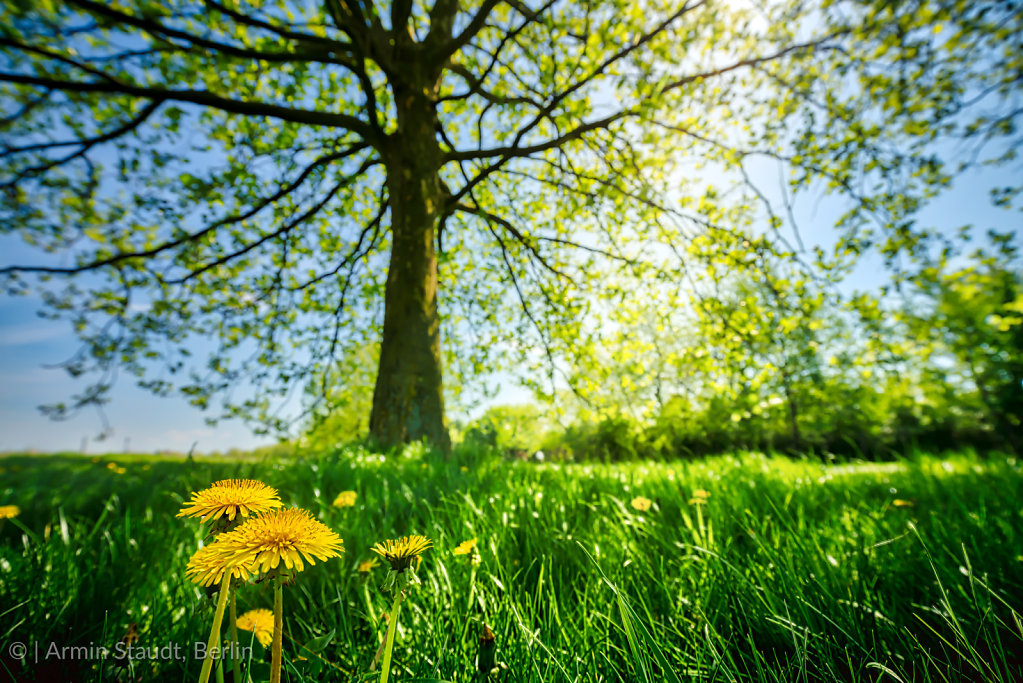 laying in the shadow of a tree and looking at dandelions